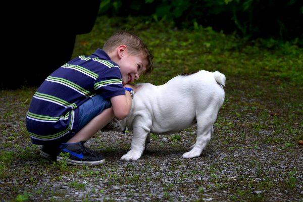 Ce qu'il faut savoir avant de s'offrir son premier Bulldog anglais