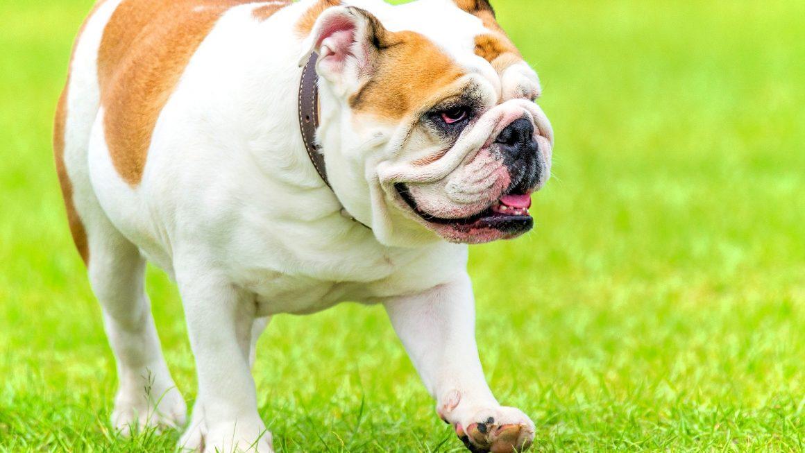 Comment bien dresser son Bulldog anglais ?