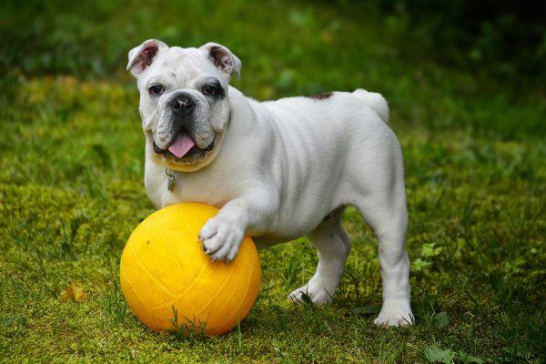 Repas faits maison pour Bulldog anglais : quelques conseils